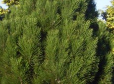 Pinus nigra ssp. nigra -österreichische Schwarzkiefer-