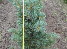 Pinus parviflora 'Glauca' -blaue Mädchenkiefer-