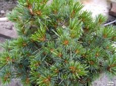 Pinus parviflora 'Hagoromo' -blaue Mädchenkiefer-