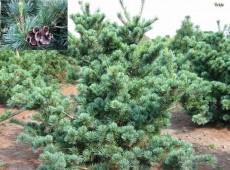 Pinus parviflora 'Negishi' -japanische Selektion der Mädchenkiefer-