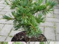 Pinus parviflora 'Pentaphylla Glauca' -blaue Mädchenkiefer-