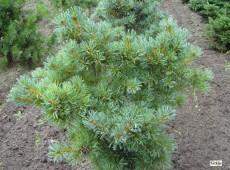 Pinus parviflora 'Schoon's Bonsai' -blaue Mädchenkiefer-