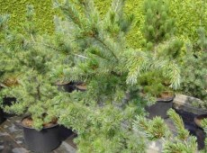 Pinus parviflora 'Tempelhof' -blaue Mädchenkiefer-
