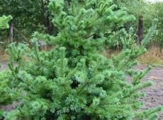 Pinus parviflora (grüne Veredlung) -Mädchenkiefer-