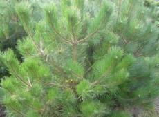 Pinus ponderosa -Gelbkiefer-
