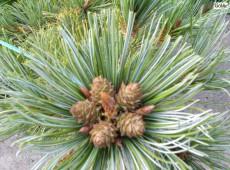 Pinus pumila 'Draijer's Dwarf' -Gelbkiefer-