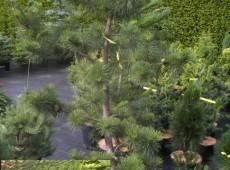 Pinus rigida -Pechkiefer-