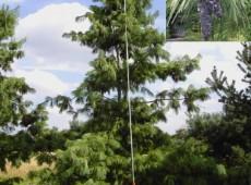 Pinus schwerinii -Schwerinkiefer-