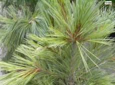 Pinus schwerinii 'Barmstedt'  -Schwerinkiefer-
