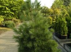 Pinus strobus -Weymouths Kiefer-