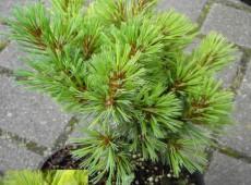 Pinus strobus 'Krügers Liliput'  -Weymouths Kiefer-