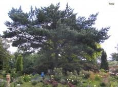 Pinus sylvestris -Waldkiefer-
