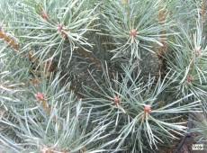Pinus sylvestris 'Argentea' -sibergraue Zwergkiefer-