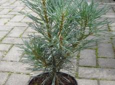 Pinus sylvestris 'Bonna' -gemeine Kiefer-