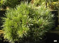 Pinus sylvestris 'Doone Valley' -gemeine Kiefer-