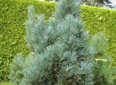 Pinus sylvestris 'Fastigiata' -Säulenkiefer-
