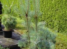 Pinus sylvestris 'Glauca' -gemeine Kiefer-