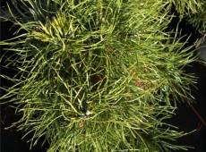 Pinus sylvestris 'Globosa Viridis' -Kugelkiefer-