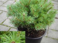 Pinus sylvestris 'Hüppstel' -Waldkiefer-               Böhlje Auslese