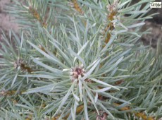 Pinus sylvestris 'Kamon Blue' -Waldkiefer-