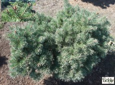 Pinus sylvestris 'Lettland' -Waldkiefer-