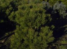 Pinus sylvestris 'Norske Typ' -norwegische Waldkiefer-