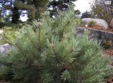 Pinus sylvestris 'Repanda' -Waldkiefer-