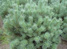 Pinus sylvestris 'Watereri' -Silberkiefer-