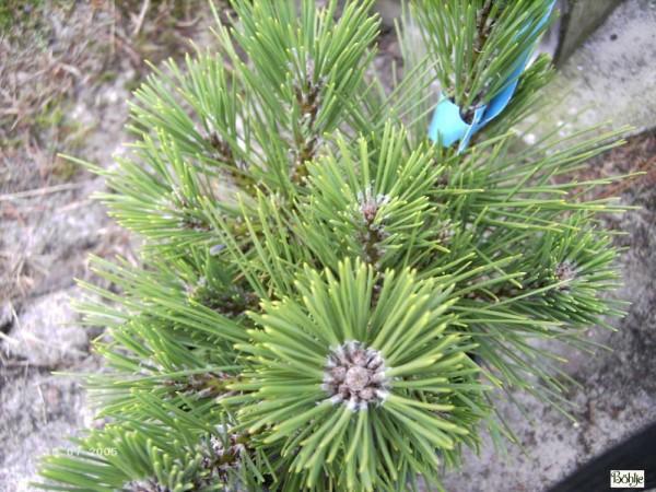 Pinus thunbergii 'Banshosho' -japanische Schwarzkiefer-