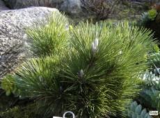 Pinus thunbergii 'Thunderhead' -japanische Schwarzkiefer-