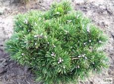 Pinus uncinata 'Grüne Welle' -Hakenkiefer- Zwergform