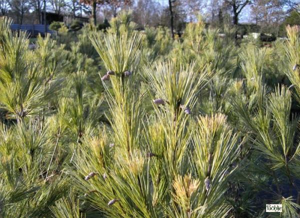Pinus wallichiana 'Densa Hill' -Tränenkiefer-
