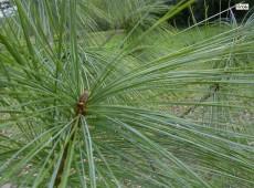 Pinus wallichiana -Tränenkiefer-