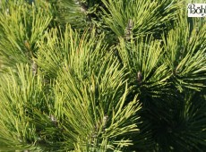Pinus heldreichii 'Dark Green Ball' -Böhlje Auslese-