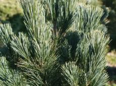 Pinus monticola 'Skyline' -Kiefer-