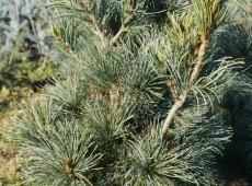 Pinus parviflora 'Blauer Engel'