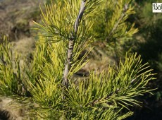 Pinus virginiana -Jersey Kiefer-