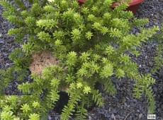 Podocarpus lawrencei -neuseeländische Steineibe-