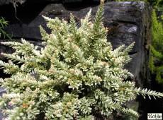 Podocarpus nivalis 'Kilworth Cream' -Neuseeländische Steineibe-