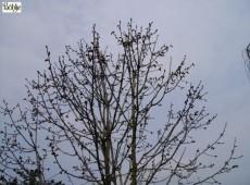 Populus lasiocarpa -Großblatt Pappel-