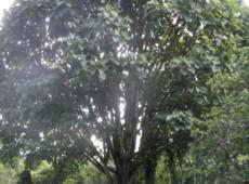 Populus wilsonii -Großblattpappel-