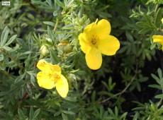 Potentilla fruticosa 'Goldteppich'