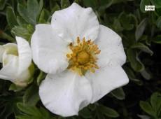 Potentilla fruticosa 'Tilford Cream'