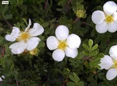 Potentilla fruticosa 'Abbotswood' -Fünffingerstrauch-