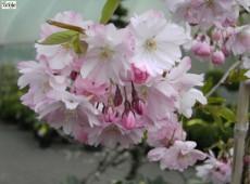 Prunus 'Accolade' -sommergrüne Zierkirsche-