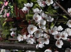 Prunus 'Trailblazer' ('Hollywood') -großfrüchtige Blutpflaume-