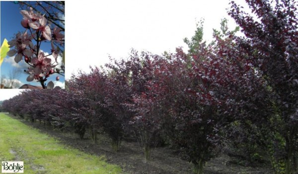Prunus cerasifera 'Nigra' -Blutpflaume-