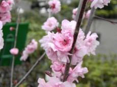Prunus cerasifera 'Pleniflora' (blireana) -Blutpflaume-