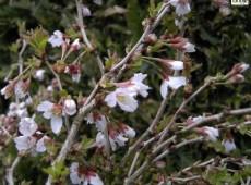 Prunus incisa 'Kojou-no-mai' -Zierkirsche-