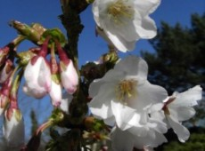 Prunus kurilensis 'Brillant' -Kurilenkirsche-